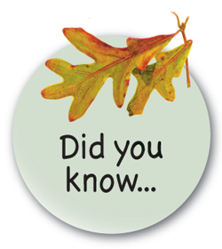 DYK-white-oak